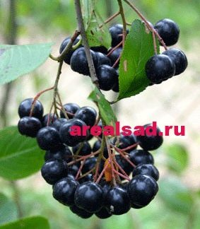 Черноплодная рябина, Арония