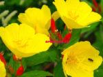 многолетние цветы, Энотера