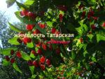 жимолость татарская