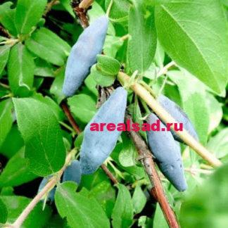 жимолость голубое веретено купить саженцы
