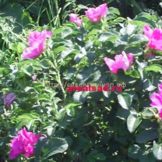 Роза ругоза, роза морщинистая