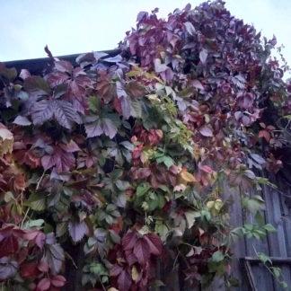 Декоративный Девичий виноград лиана