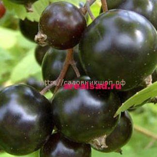 смородины чёрной