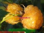 жёлтая малина Алтайская десертная