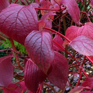 дёрен сибирский осенью листья