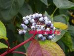дёрен сибирский плоды