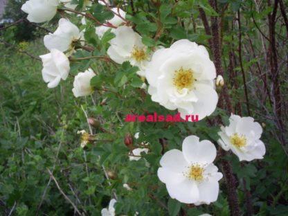 Роза парковая белая, Белый шиповник
