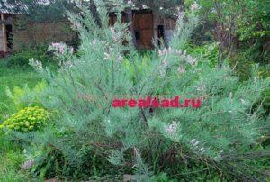 мирикария тамарикс
