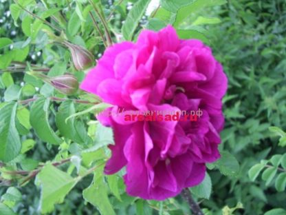 Роза ругоза Ханса (Hansa, Ханза)
