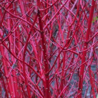 Дёрен Сибирский без листьев в стадии покоя
