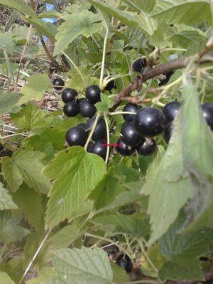 ранние сорта чёрной смородины