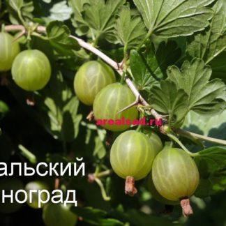 крыжовник уральский виноград купить