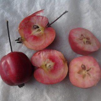 Недзвецкого яблоня плоды мякоть в разрезе