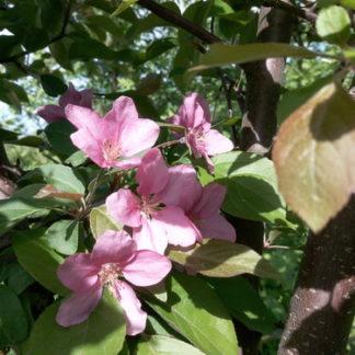 Цветёт яблоня Недзвецкого весной