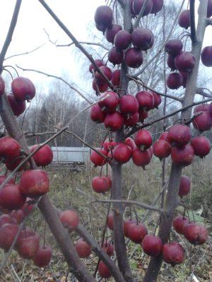 Яблоня декоративная купить