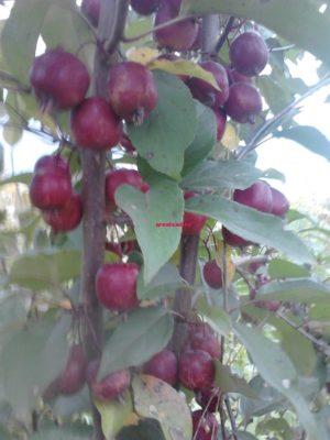 Яблоня Роялти купить саженцы