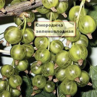 Смородина зелёная зеленоплодная Вертти