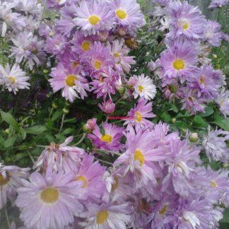 многолетние цветы хризантема