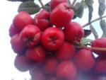Сортовая красная рябина Алая крупная