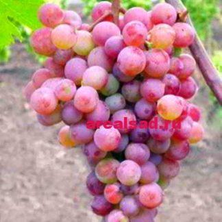 Виноград Русский ранний купить саженцы