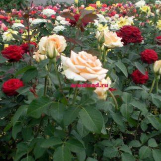 саженцы розы почтой купить