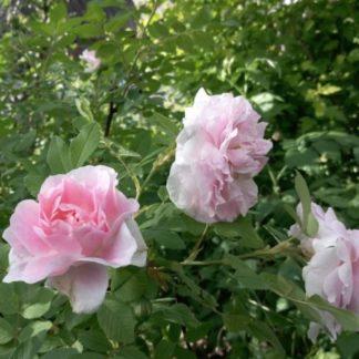 Роза парковая канадская Мартин Фробишер
