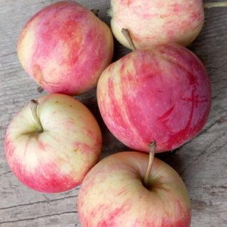 Яблоня Уралец яблоки осенью