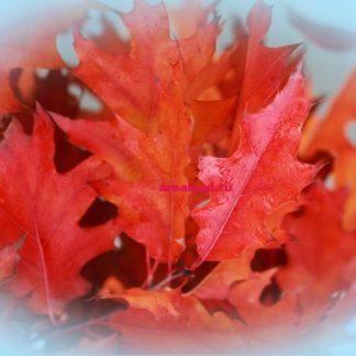 Quercus rubra дуб красный
