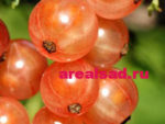 смородина Голландская розовая