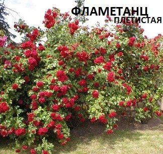 Роза плетистая красная сорт Фламетанц с красными цветами можно купить в нашем интернет магазине с доставкой почтой по России.