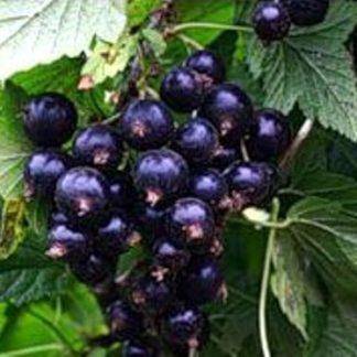 Черенки чёрной смородины Глориоза для посадки