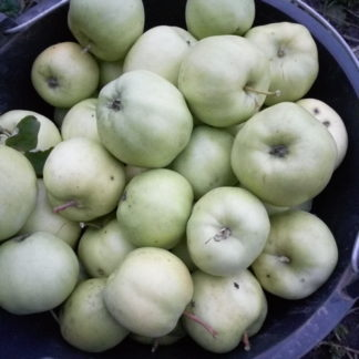 Яблоня летняя сорт Чудное яблоки