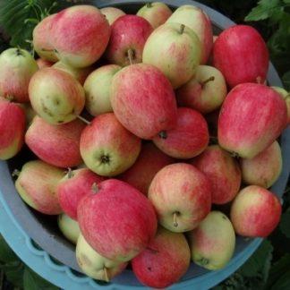 Яблоня Летнее полосатое черенок