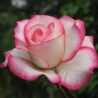 Розы саженцы