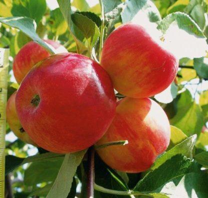 Черенки яблони