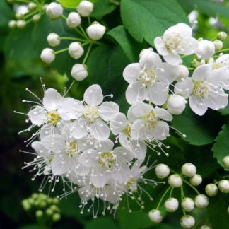 Spiraea chamaedrifolia, Спирея Дубравколистная