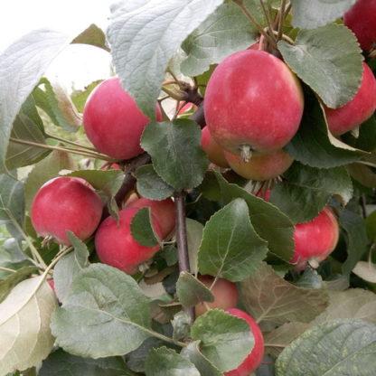 Яблоня сорт Горноалтайское