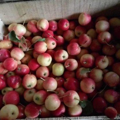 Яблоня Горноалтайское черенок