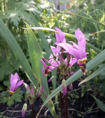 Додекатеон цветок весенний первоцвет