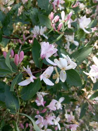 Жимолость Татарская цветёт