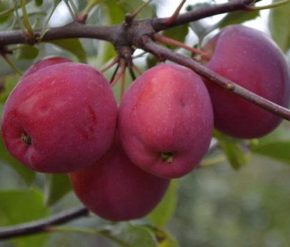 Китайка Керр яблоня
