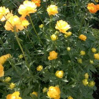 Садовая жёлтая купальница Лемон Куин