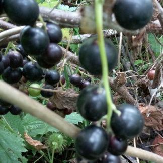 Смородина чёрная сорт Ядрёная