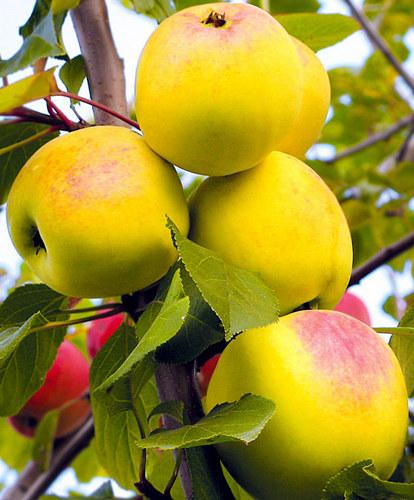 Яблоня сорт Вэм жёлтый Данила