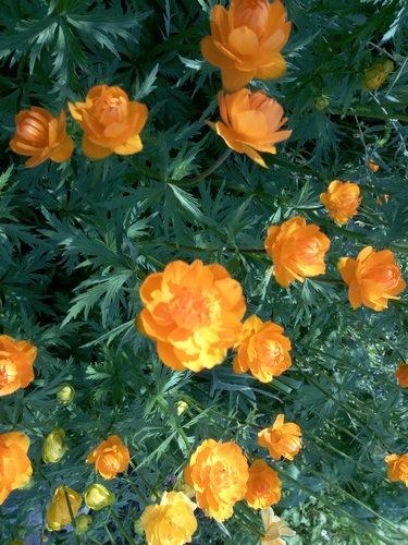 Купальница оранжевая королевская