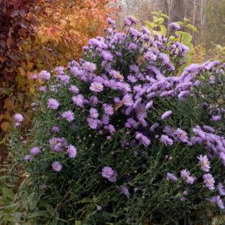 Сентябринка или октябринка - это астра Виргинская, Новобельгийская, цветок многолетний, разрастается куртинкой, раз в 3 года надо делить корневища. Цветёт осенью, в зиму под снег уходит с цветами, высота до 1 метра. Последние яркие цветы осени. Осенние цветы
