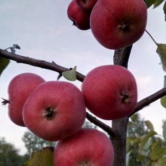 Яблоня Алтайское багряное