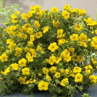 Лапчатка Курильский чай жёлтый кустарник