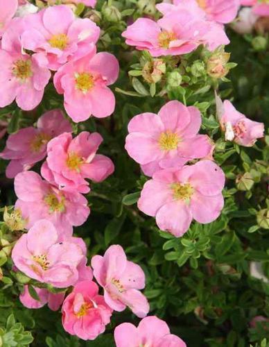 Лапчатка розовая Пинк квин