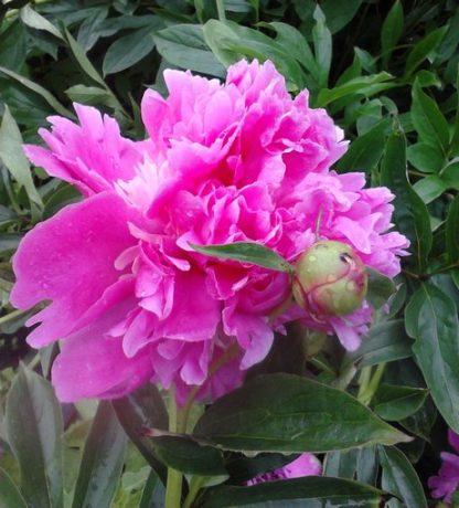 пион розовый махровый купить